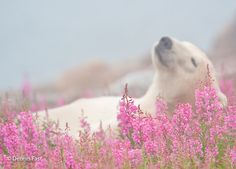写真家のデニス・ファストさんによってカナダのハドソン湾周辺で撮影されました。冬は基本的に氷の上で生活をするシロクマですが、氷の溶ける夏はこうしてお花畑の中をウロウロするんだとか。