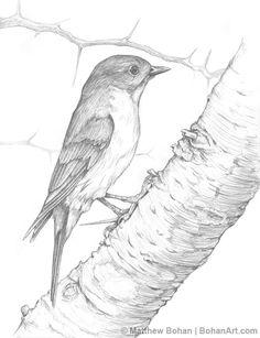 Male Eastern Bluebird on Hawthorn Pencil Sketch