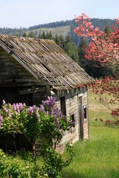 his sweet old cabin flanked by old bushes of Lilac and Pink Dogwood is part of the history of Trout Lake and White Salmon. I am told it was one of the original Stage coach stops for Wyer's