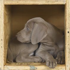 We're putting together the annual William Wegman: Puppies calendar, and… Blue Weimaraner, Weimaraner Puppies, Doggies, Pet Dogs, Dogs And Puppies, Baby Animals, Funny Animals, Cute Animals, I Love Dogs