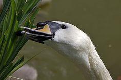 Schwäne sind Fischjäger | Kuriose Tierwelt