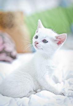 <3 Beautiful white kitten