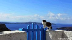 Greek cat.  Santorini, Cyclades, Greece.
