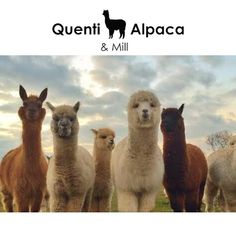 Striving for the finest alpaca Linda is in charge of breeding and says she is inspired to breed the ultimate alpaca. Health is the first priority she says so I strive for an animal with strength resilience and good body structure and proportions.  She explains that fibre quantity and quality is determined genetically although good nutrition and husbandry affect the genes expression.  #Quenti #Alpaca #Farm Gene Expression, Alpacas, Nice Body, Genetics, Strength, Nutrition, Inspired, Health, Animals