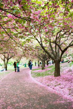 Cherry Blossoms at Brooklyn Botanic Gardens in New York