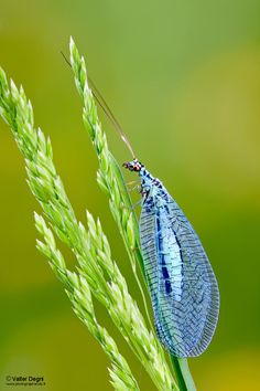 Green Lacewing (Chrysopa perla) photo: Valter Degni