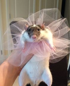 """Nora doesn't want to wear her pretty pink dress (she is going to be Glinda the good witch).  She's looking at me like I've just killed her best friend.  nora rat pet rat fancy rat """