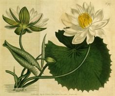 Nymphaea lotus, or the White lotus; symbol of Ancient Upper Egypt.