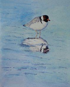 Hooded plover. Threatened sp. Tasmania. Watercolour. Melhillswildart.