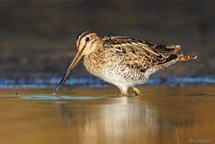 Latham's Snipe by Ofer Levy on 500px