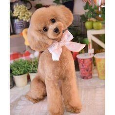 ねねちゃん、お姉さんに名前呼ばれて 必殺な〜に? 角度分かってるわ〜(笑) #ねねちゃん#ねね#トイプードル#といぷーどる #トイプー#トイプードル部 #トイプードルクリーム#タイニーサイズ#クリーム#愛犬#dog#トリミング#ピコネ#picone #サマーカット#ふわもこ部 #instadog #可愛い#love#よく頑張りました