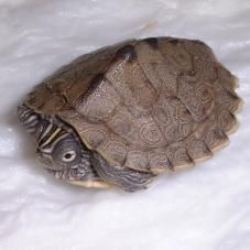 Mississippi Map Turtle.  We also have two of these - Magellan and Squirt.  Very calm and friendly.