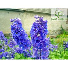 Delphinium cultorum Dasante Blue G-9