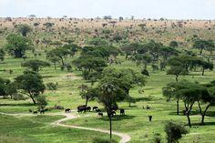 Elephants Tanzania Park