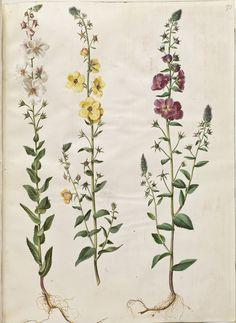 Verbascum blattaria; Verbascum phoeniceum, KKSgb2950/70
