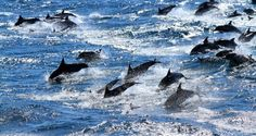 """Scientists have found further evidence that dolphins call each other by """"name"""". Research has revealed that the marine mammals use a unique whistle to identify each other."""