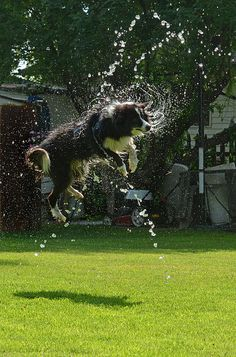 Border Collie Dog - a leap and a shake after a dip in the pool. Love My Dog, Border Collie Puppies, Collie Dog, Australian Shepherds, West Highland Terrier, Colley, Photo Animaliere, Blue Heelers, Bearded Collie