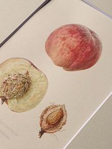 山根悦子ボタニカルアート&イラストレーションスタジオ Etsuko Yamane   ワークス:Works