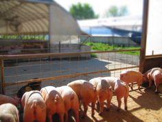 Humanely-raised pigs at Sweet Stem Farm