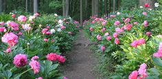 Peony Garden Planning - this site suggests a double row of peonies on each side to make a nice hedge. Currently my peony hedge just has a single row.  In the future, I should probably increase it to give it this full, romantic look!