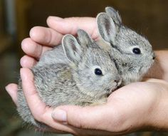 ❤ ♥ Pygmy rabbits ♥ ❤  @Jessica Estevez Dupler   they look the size or small than  a Guinea Pig.