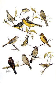 Small Bird Print - Pygmy Tyrant, Elaenia, Tyrannulet, Flycatcher, Tyrant - South American Birds - 1970 Vintage Book Page - 9 x 6