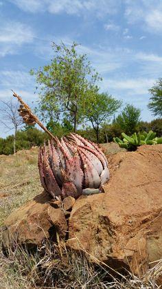Aloe peglerae Oct 2016 Vaal. Cacti And Succulents, Planting Succulents, Planting Flowers, Desert Gardening, Oct 2016, Unusual Plants, Rare Flowers, Cactus Y Suculentas, Plant Species