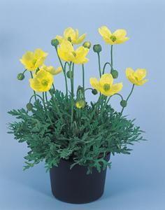 Papaver miyabeanum 'Pacino' Seed Catalogs, Outdoor Gardens, Seeds, Planters, Planter Boxes, Window Boxes, Flower Planters