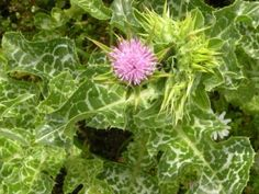 Máte v zahradě ostropestřec? Korn, Cabbage, Vegetables, Cabbages, Vegetable Recipes, Brussels Sprouts, Veggies, Sprouts