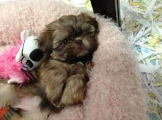 toy shih tzu puppies for sale
