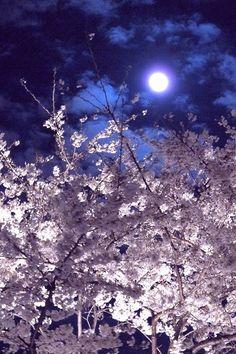 Night of full moon, Tokyo, Japan. Moon and Cherry Blossoms, lovely ! Beautiful Moon, Beautiful World, Shoot The Moon, Moon Pictures, Moon Pics, Good Night Moon, Moon Magic, Pics Art, Blue Moon