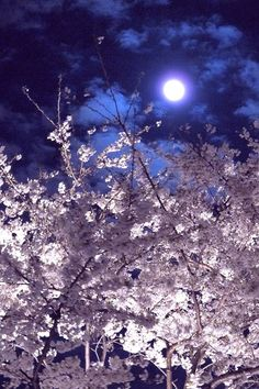 "Night of full moon!!  the outstanding beauty of "" SAKURA "" in the night"
