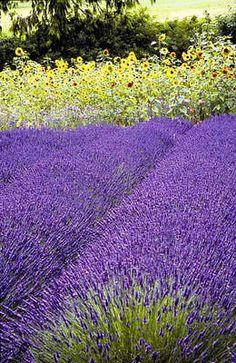 Sequim Lavender Festival 2014