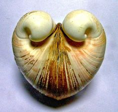 beautiful sea shell  *I'll have to look for its name*