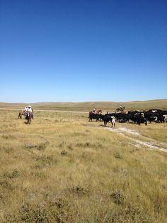 Cattle Drive above Two Medicine, Montana Cattle Drive - Definite Bucket List!!!