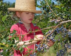Blueberry season is coming around early this year! The berry harvest is a great time of the year to bake fresh pie and cobbler for summer parties, and soak up the sun before the leaves start to change. Blueberries flourish…