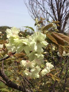 桜「鬱金」