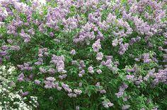 Bouturer le lilas est aisé et permet de le multiplier à bon compte au jardin. Toutes les étapes de cette multiplication en pas à pas. Fleurs Diy, Fruit Plants, Plantation, Permaculture, Horticulture, Amazing Gardens, Curb Appeal, Exterior Design, Gardening Tips