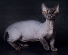 A relatively new breed, the bambino cat is a Devon Rex Munchkin being bred with a Sphynx cat. Caracal Cat, Sphynx Cat, Siamese Cats, Ragdoll Cats, Manecoon Cat, Rex Cat, Bambino Kitten, Cute Cats, Funny Cats