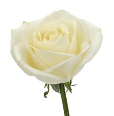 Tibet rose   Delaware Valley Wholesale Florist