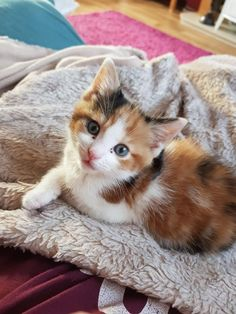 Calico Kitten named Smudge Kittens And Puppies, Cute Cats And Kittens, I Love Cats, Crazy Cats, Kittens Cutest, Ragdoll Kittens, Tabby Cats, Funny Kittens, White Kittens