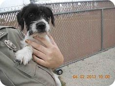 Hi I am an adorable female #schnauzer puppy. I don't even have a name yet I only have a number. Would you like to take me home and give me a name?  I'm currently located in #Killeen #Texas. #urgent. I may not be here long click link to find out how to come and get me!!!