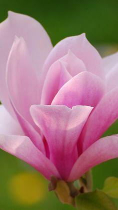 Pink magnolia, de belle couleur rose, ça fait du bien, c'est doux, c'est harmonieux.... paix à l'intérieur!