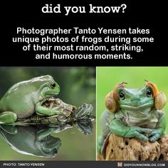 PRINCESS LEIA FROG Photographer Tanto Yensen takes unique photos of frogs during some of their most random, striking, and humorous moments. Source Source 2 All photos by Tanto Yensen Animal Captions, Funny Animal Memes, Cute Funny Animals, Funny Animal Pictures, Funny Cute, Funny Memes, Funny Pics, Funny Stuff, Reptiles