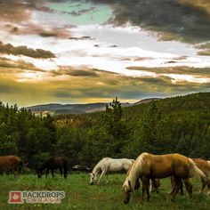 Take your studio down in the valley with this backdrop of grazing horses. Perfect for animal lovers and horse enthusiasts. Order online at www.backdropscanada.ca