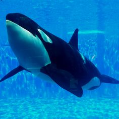 Love this picture, even though I can't tell which SeaWorld orca this is. Anyone know?