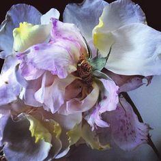 Les roses au smartphone de Nick Knight