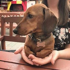 """""""My Hoomin slave helps me keep my paws clean!"""" There are more dachshund colors and patterns than most other dogs and sometimes it can be difficult to decide on the dachshund's correct color classification #dog #pet #dachshund #doxie #weiner"""