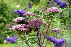 Angelica sylvestris purpurea 'Vicar's Mead' with Buddleia