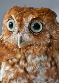 Screech Owl Portrait by Sandy Scott